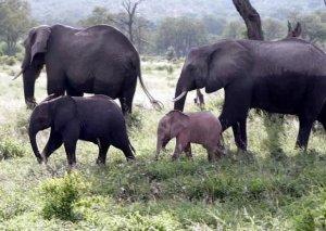 만화 찢고 나온 코끼리? 남아공서 분홍 코끼리 탄생