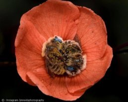 꽃 속에서 자는 벌이 있다