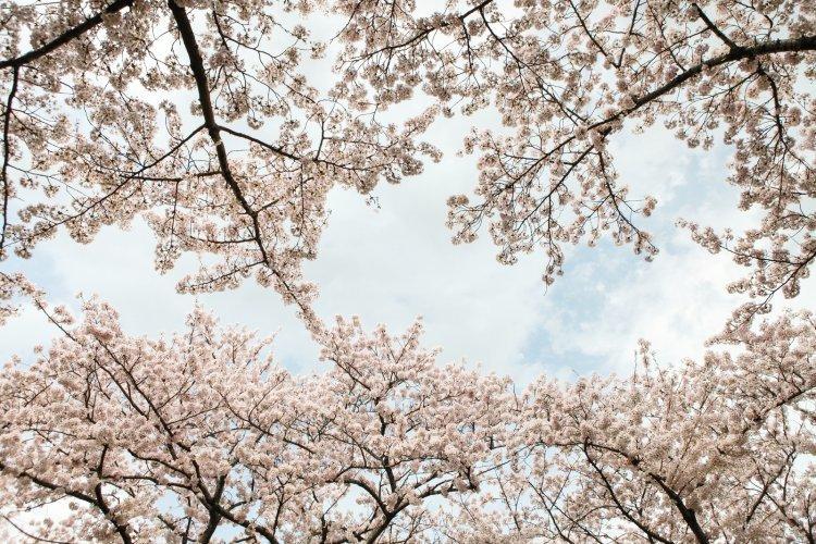 벚꽃비 내리는 제주의 '4월 이야기'…제주관광 10선