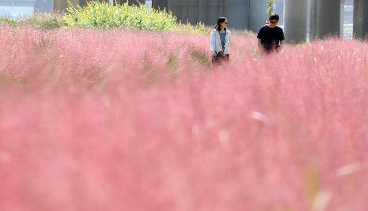 '마음까지 분홍분홍'…핑크뮬리 아직 못봤다면 이곳으로