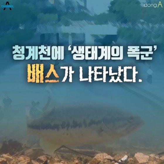[카드뉴스]청계천에 '생태계의 폭군' 배스가 나타났다