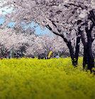 꽃망울 터뜨린 봄꽃주말 어디로 떠날까?