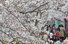 서울 벚꽃 개화1922년 관측 이후 가장 빨라