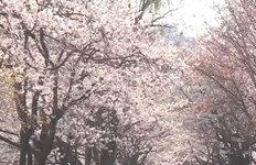 벚꽃구경도 노래교실도 안방에서 즐기세요