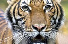 호랑이도 피하지 못한 코로나뉴욕 동물원 호랑이 세계 첫 확진