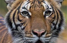 호랑이도 못 피해가는 코로나19…뉴욕 동물원서 감염 확인