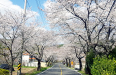 벚나무가 온실가스 저감 해결사?효과 보니…