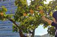 천안 103세 배나무에배가 '주렁주렁' 인기