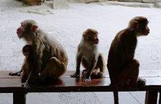 인도 원숭이가 12일 된간난 아기 납치해 살해