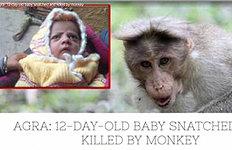 인도 원숭이, 엄마품에서젖먹던 신생아 낚아채 살해