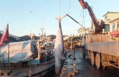 영덕 앞바다서 '바다의 로또'밍크고래 발견…위판 가격은?