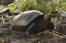 멸종판단 갈라파고스 큰 거북 110년 만에 발견돼