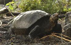 멸종위기 '갈라파고스 거북'113년만에 자연상태로 발견