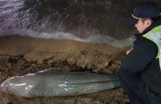 제주 해안서 또 상괭이 사체 발견올들어 벌써 28번째