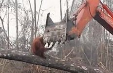 """""""내 집 파괴하지 마""""…굴삭기에달려든 오랑우탄의 '눈물'"""