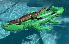 집 수영장에 악어 모양 튜브띄워놨더니…'진짜' 악어가 떠억