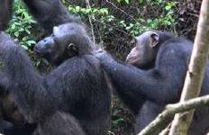 침팬지도 '영화 데이트' 뒤커플될 확률 높아져