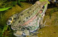 멸종위기 2급 금개구리대량 증식 성공