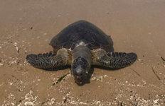 멸종위기종 푸른바다 거북 사체경북 포항서 발견…학계 관심