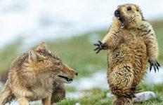 '여우에 놀란 마멋' 찍은 中사진가'올해의 야생동물 사진가상' 수상