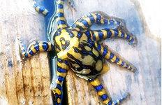 청산가리 10배 맹독성'파란고리문어' 처음 낚여
