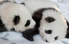 獨동물원 판다 형제 이름이'홍' '콩'?…中발끈