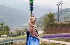 살아있는 돼지 발 묶어 70m'번지점프'…학대 논란에 해명이