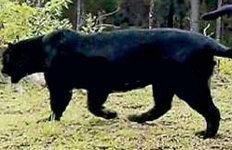 멸종된 줄 알았던 스리랑카흑표범 가족 4마리 포착