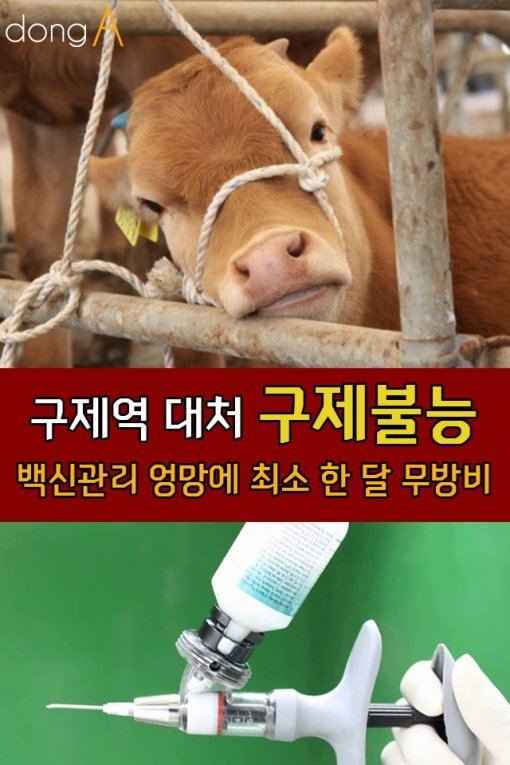 [카드뉴스]구제역 대처 '구제불능'…백신관리 엉망에 최소 한 달 무방비