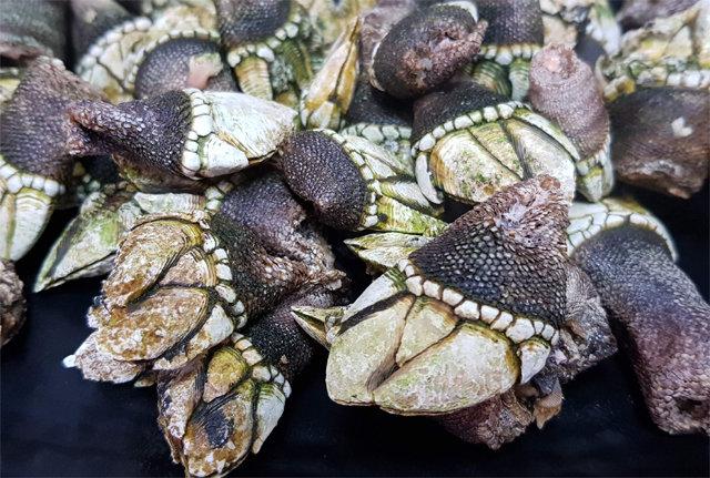 [석창인 박사의 오늘 뭐 먹지?]밍밍함과 짭조름 사이… 거북손의 묘한 맛