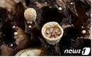 새 둥지 모양 '둥우리버섯' 국내 최초 발견…가야산서 1000여점 표본 확보