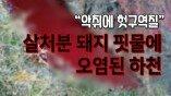 """살처분 돼지 핏물에 오염된 하천…""""악취에 헛구역질"""""""