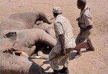 죽은 코끼리 아래 깔린 악어..사건의 전말은?
