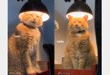 """""""자연스러운 웨이브 부탁한다옹~""""..스탠드 등불에 파마하는(?) 고양이"""