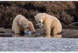 배고픔에 사람이 버린 쓰레기 서로 먹겠다고 싸우는 아기 북극곰들