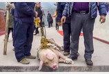 '어차피 춘절에 잡아먹을거'..68m 높이서 살아있는 돼지 번지점프시킨 중국