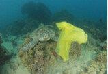 바다거북이 플라스틱을 먹는 이유..음식 냄새와 비슷해