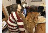 가혹한 재택근무 환경?..고양이 2마리에게 포위된 집사
