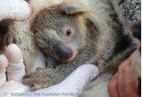 `호주 최악의 산불` 이후 처음 태어난 아기코알라