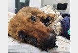 끓는 타르 뒤집어쓴 루마니아 강아지..`새가족 찾아 영국 간다`