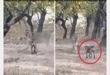 사자와 마주친 떠돌이 개, 용감히 맞서 싸우고 유유히 자리 떠나