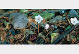 버선발로 달려나온 봄… 저 꽃잎에 반해 이렇게 설렜나