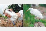 중국-필리핀 머물다 다시 백령도로… 고향서 '어미새' 된 노랑부리백로