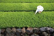 [즐거운 인생]천혜의 자연에 정성 더한 오설록… 차 재배 최적 환경 '제주 떼루아'를 품다