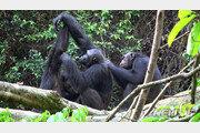 침팬지도 '영화 데이트' 뒤 커플될 확률 높아져