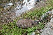 대구 고속도로서 야생멧돼지 사체 발견…돼지열병 조사