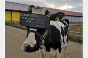 러시아 젖소, VR고글로 들판 보여줬더니…