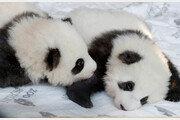 獨동물원 판다 형제 이름이 '홍' '콩'?… 中발끈