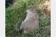 아프리카돼지열병 2건 추가 확진…전국 누적 46건