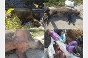 광역울타리 안 멧돼지 사체 10마리서 돼지열병 검출…총 227번째